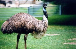 what do emus eat - where do emus live
