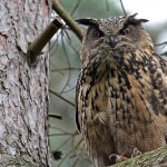 Eurasian Eagle Owl Facts – Eurasian Eagle Owl Habitat & Diet