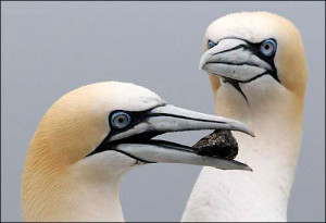 gannets - Indian Birds pictures with Names