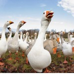 What Do Geese Eat – What Do Canadian Geese Eat
