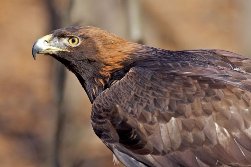 Golden Eagle Facts - Golden Eagle