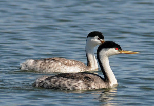 grebe - Indian Birds pictures with Names