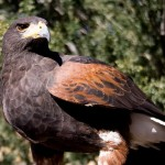 Harris Hawk Facts – Harris Hawk Habitat & Diet