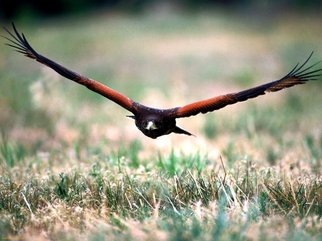 Harris Hawk Facts - Harris Hawk