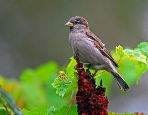 House Sparrow Facts - House Sparrow
