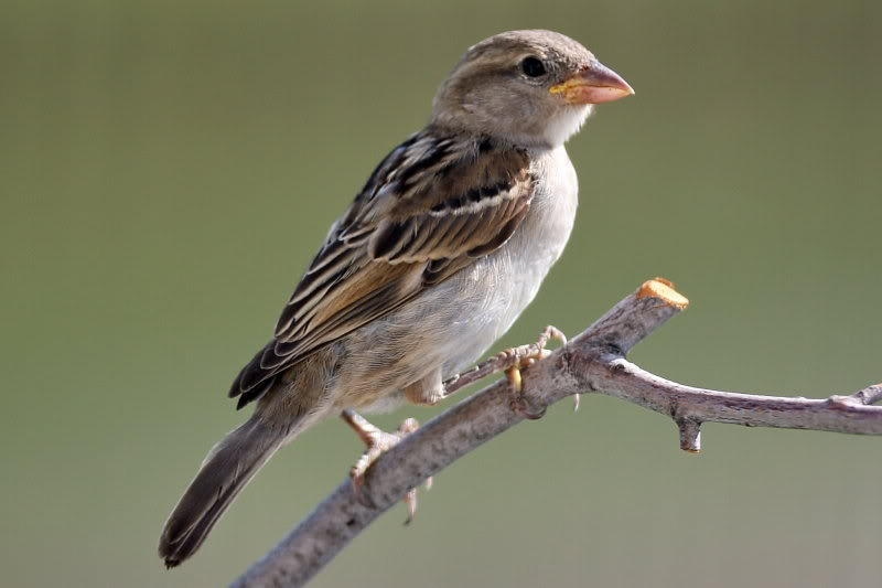 House Sparrow Facts – House Sparrow Diet and Species