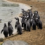 Humboldt Penguin Facts – Humboldt Penguins Diet & Habitat