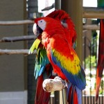 Macaws - How long Do parrots live