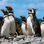 Magellanic Penguin Facts – Magellanic Penguins Habitat & Diet