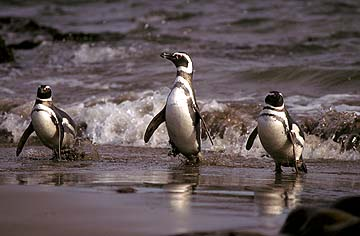 Magellanic Penguin Facts - Magellanic Penguin