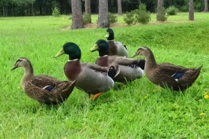 What Do Mallard Ducks Eat? What To Feed Mallard Ducks? - mallards