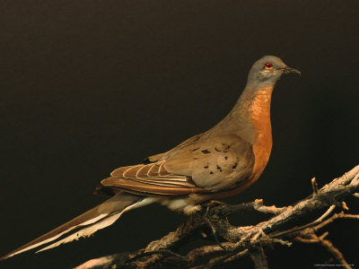Passenger Pigeon Facts  Passenger Pigeon