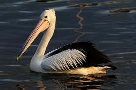 pelicans - Indian Birds pictures with Names