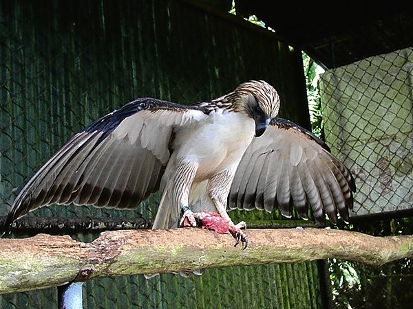 Philippine Eagle Facts - Philippine Eagle