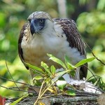 Philippine Eagle Facts – Philippine Eagle Diet – Philippine Eagle Habitat