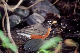 robin in search of food - What do robins eat