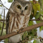 Northern Saw whet Owl Facts – Northern Saw Whet Owl Habitat & Diet