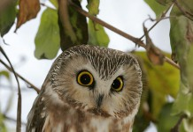 Northern Saw Whet Owl Facts - Northern Saw Whet Owl