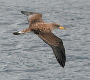 shearwater - Indian Birds pictures with Names