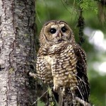 Spotted Owl Facts – Spotted Owl Habitat – What Do Spotted Owls Eat