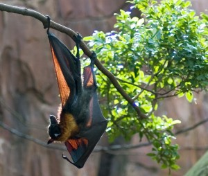 types of bats - Spotted Winged Fruit Bats