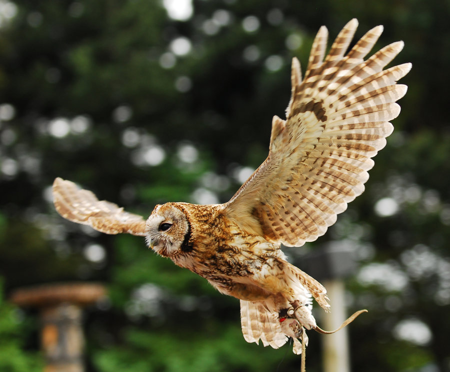 Tawny Owl Facts   Tawn...