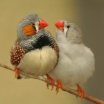 types of finches - Zebra Finch
