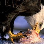 What Do Eagles Eat | Eagles Diet
