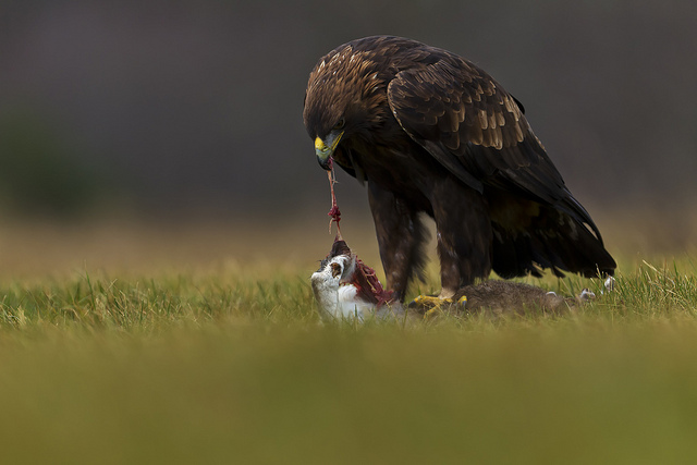 what do eagles eat | what do golden eagles eat