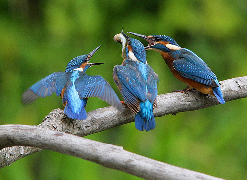 kingfisher facts - Three kingfishers