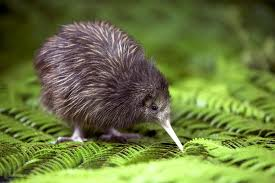 kiwi bird facts for kids