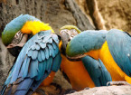 blue and gold macaw pictures