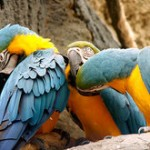 Blue and Gold Macaw Facts | Blue and Gold Macaw Habitat & Diet