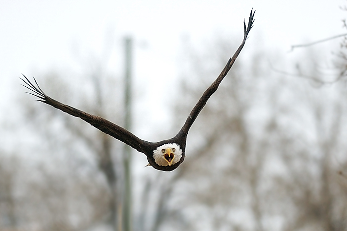 do bald eagles mate for life - Bald eagle amazing picture and photo from the front