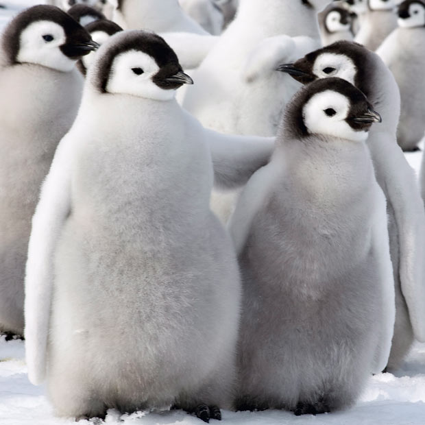 do penguins have feathers - Penguins picture