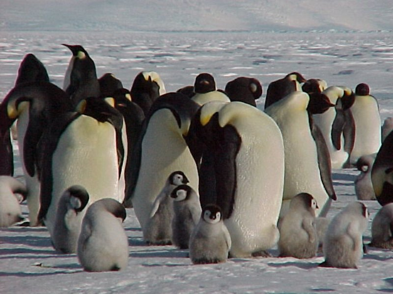 Do Penguins Mate For Life - Penguins with their chicks