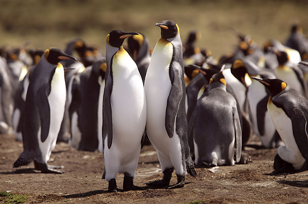 penguins pictures, How Long Do Penguins Live, penguins lifespan