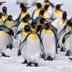 How Long Do Penguins Live | Penguins Lifespan