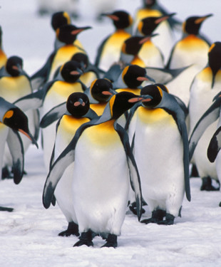 how long do penguins live