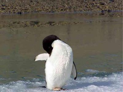 Do penguins have feathers - photo#13