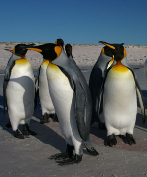 penguin mating pictures