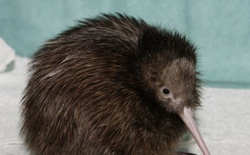 Image of a black kiwi bird