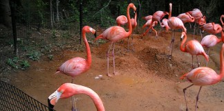 Pink flamingos - what do flaminogs eat