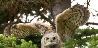 great horned owl facts - Juvenile Great Horned Owl