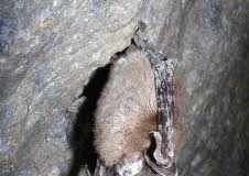 brown bat - facts about bats