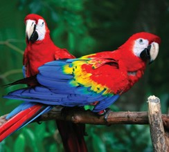 scarlet macaw facts - scarlet macaw