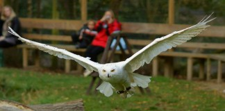 snowy owl - snowy owl facts for kids