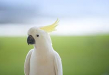 Cockatoo as a Pet - Do cockatoos make good pets