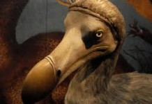 Dodo bird - Dodo bird facts