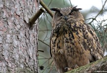 Eurasian Eagle Owl Facts - Eurasian Eagle Owl